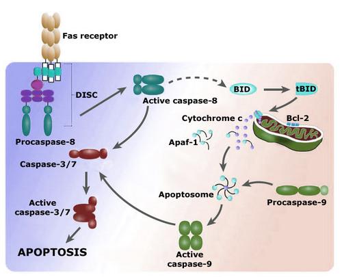 i-d1eb459be7665c1bb59b49bb80fec923-apoptose-thumb-500x405.jpg