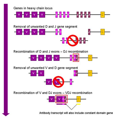 i-da60dfc24309bc444223bcb1bb7156f2-VDJ_recombination-thumb-500x500.png