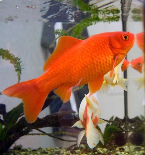 Astronomisch wertvoll: Der Goldfisch!