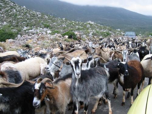 Eine Herde Ziegen macht sich auf den Weg um Mathematiker zu ärgern (Bild: Public Domain)