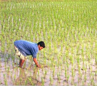 Reis anpflanzen war DER neue Hit im 5 Jahrtausend vor Christus! (Bild: USAID, Public Domain)
