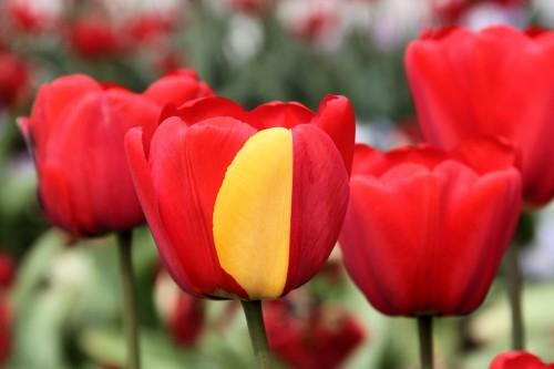 Diese Tulpe ist mutiert! Ob sie nun Superkräfte hat, ist allerdings unklar (Bild: LepoRello (Wikipedia), CC-BY-SA 3.0)