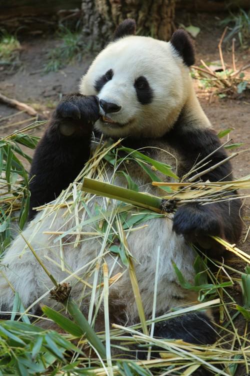 Ein niedlicher Panda. Aber es gibt auf dieser Welt noch mehr zu schützen... Bild:  Matthew Field, CC-BY-SA 3.0)