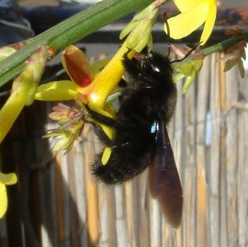 Holzbiene beim Nektarraub (Bild: CC-BY-SA 3.0)