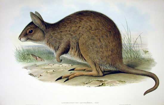 Das Hasenkänguru. Niedlich, aber seit den 1960er Jahren ausgestorben (Bild: John Gould, public domain)