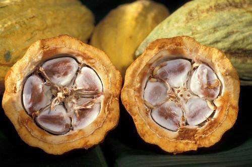 Samen in der Kakaobohne (Bild: ARS, public domain)