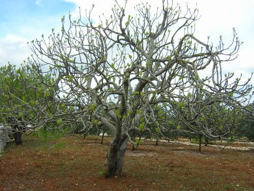 Ein Feigenbaum! Aber um den gehts nicht... (Bild: Gide, CC-BY-SA 3.0)