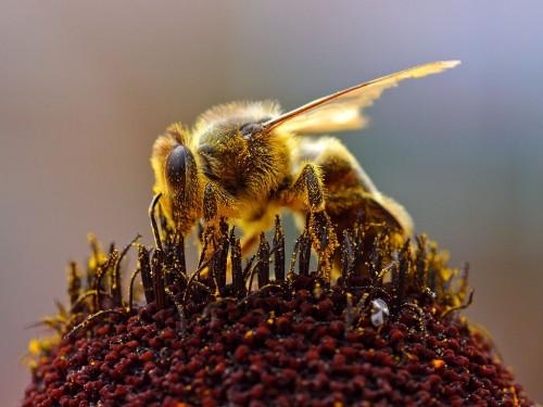 Die Biene sammelt Pollen (Bild: Public Domain)