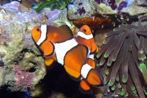 Clownfische bei der Brutpflege – diese wird meist vom Männchen übernommen.  (Bild: Haplochromis, CC-BY-SA 3.0)