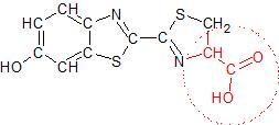 Strukturformel des Glühwürmchen-Luciferins