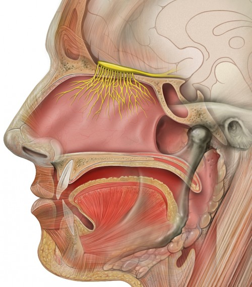 Sitz des Geruchsnervs (gelb) (CC BY 2.5,  Patrick J. Lynch, medical illustrator , https://de.wikipedia.org/wiki/Riechkolben#/media/File:Head_olfactory_nerve.jpg)