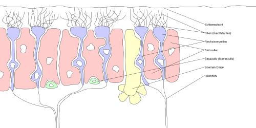 Riechschleimhaut mit Geruchsrezeptore (CC BY-SA 3.0, Marian Sigler, https://de.wikipedia.org/wiki/Riechschleimhaut#/media/File:Riechschleimhaut.svg)