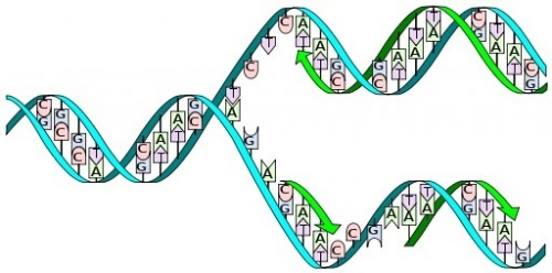 I, Madprime, DNA replication split horizontal, CC BY-SA 3.0