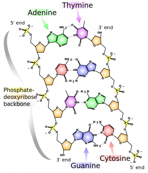 Madprime contribs), DNA chemical structure, CC BY-SA 3.0