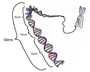 Nichts wovor wir Angst haben müssen: Gene (von Courtesy: National Human Genome Research Institute ([1] (file)) [Public domain], via Wikimedia Commons