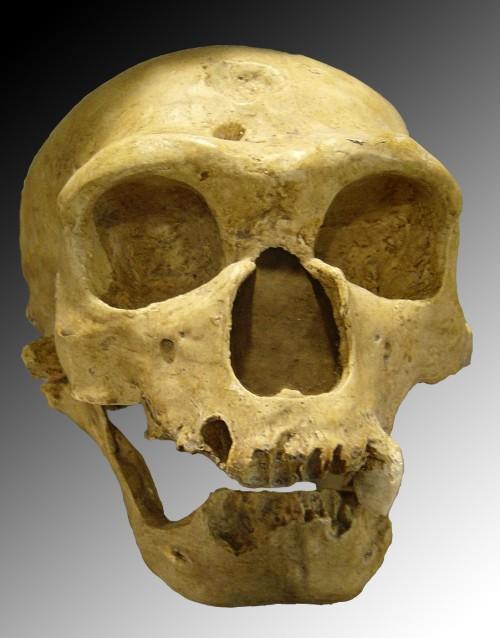 Gut möglich, dass dieser Neandertalerschädel noch lesbare DNA enthält. (Luna04, Homo sapiens neanderthalensis, CC BY-SA 3.0)