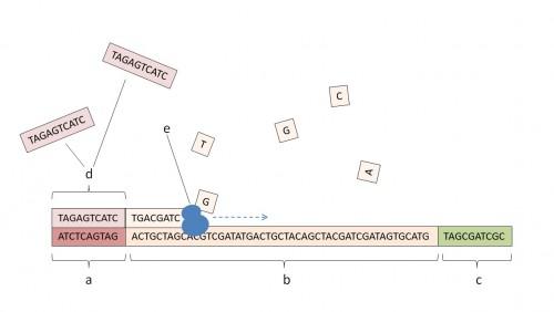 Schema zur Umsetzung des willkürlichen Speicherzugriffs. a: Schlüssel-Sequenz eines Datenpaketes. b: Daten. c: Adress-Sequenz. d: primer, bindet sich spontan an den Schlüssel. e: Polymerase. (Author: Dennis Gregor)