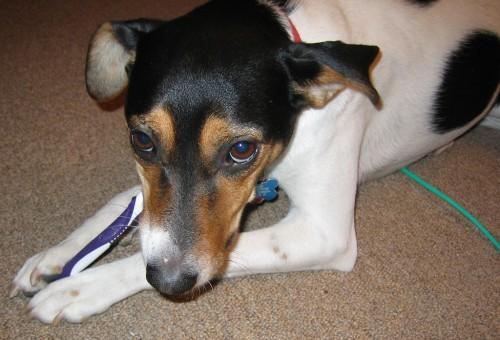 Kein Schäferhund - aber der ist ja eben nicht vorhanden (Bild: Linda N, CC-BY 2.0)