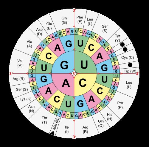 """Der genetische Code irdischer Lebewesen dargestellt als """"Code-Sonne"""": Vom Mittelpunkt des Kreises nach außen gelesen codieren je 3 Basen der mRNA (A...Adenin, C…Cytosin, G…Guanin, U…Uracil) für je eine Aminosäure (Abkürzungen für die Aminosäuren im Dreibuchstabencode und im Einbuchstabencode) oder beenden die Proteinbildung (""""Stop""""). Die Basengruppe AUG codiert für den Start eines Proteins mit der Aminosäure Methionin (Dreibuchstabencode: Met, Einbuchstabencode: M). Die Basengruppen UAA, UAG und UGA beenden die Bildung des Proteins (""""Stop""""). ( Urheber: Mouagip. Bildrechte: gemeinfrei)"""
