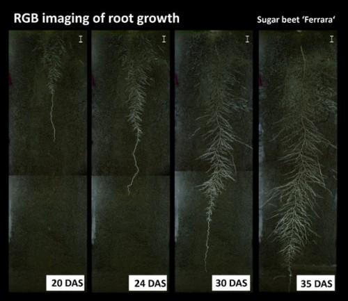 Entwicklung des Wurzelsystems einer Zuckerrübenpflanze, DAS heißt day after seeding, CC BY-NC-ND 3.0, in jove.com.