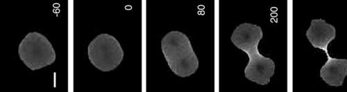 Aus einer Zelle werden bei der Zellteilung zwei (  Urheber: Douglas N Robinson, Guy Cavet, Hans M Warrick and James A Spudich, Creative Commons by 2.0 )