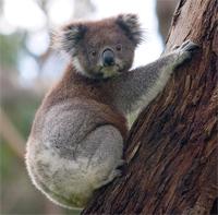 i-928b4700f22c1cfaddf360ded80ad037-koala.jpg