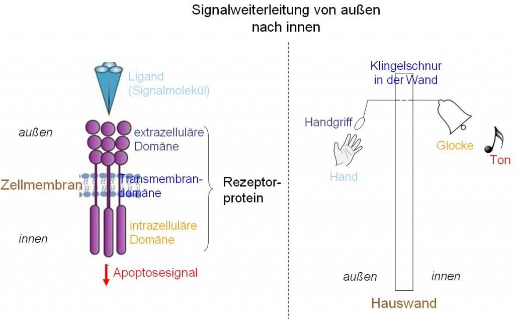 Rezeptorproteine