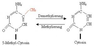 methylierung edhoc.hu-berlin.de