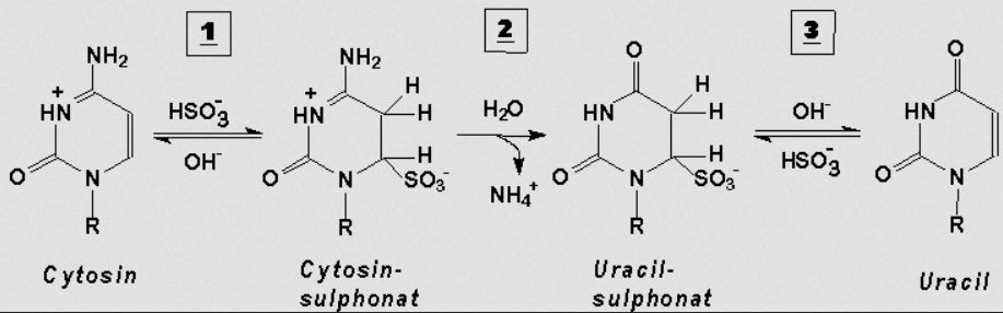 Bisulfit-Konvertierung von Cytosin zu Uracil (mit Zwischenstufen); (c) www.methylogix.com