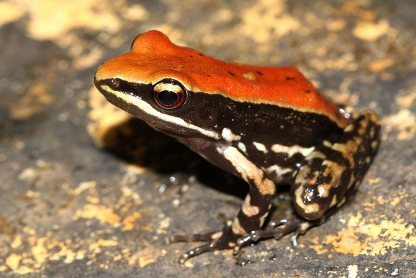 Frog_fungoid