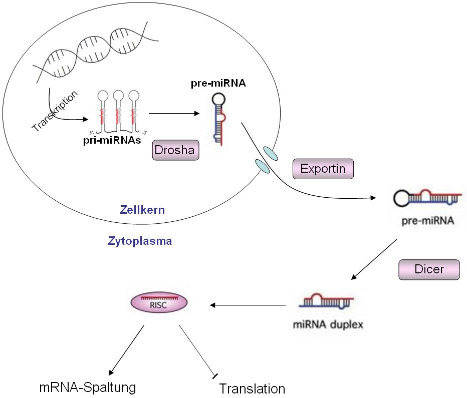 Basics – Micro-RNA – blooDNAcid