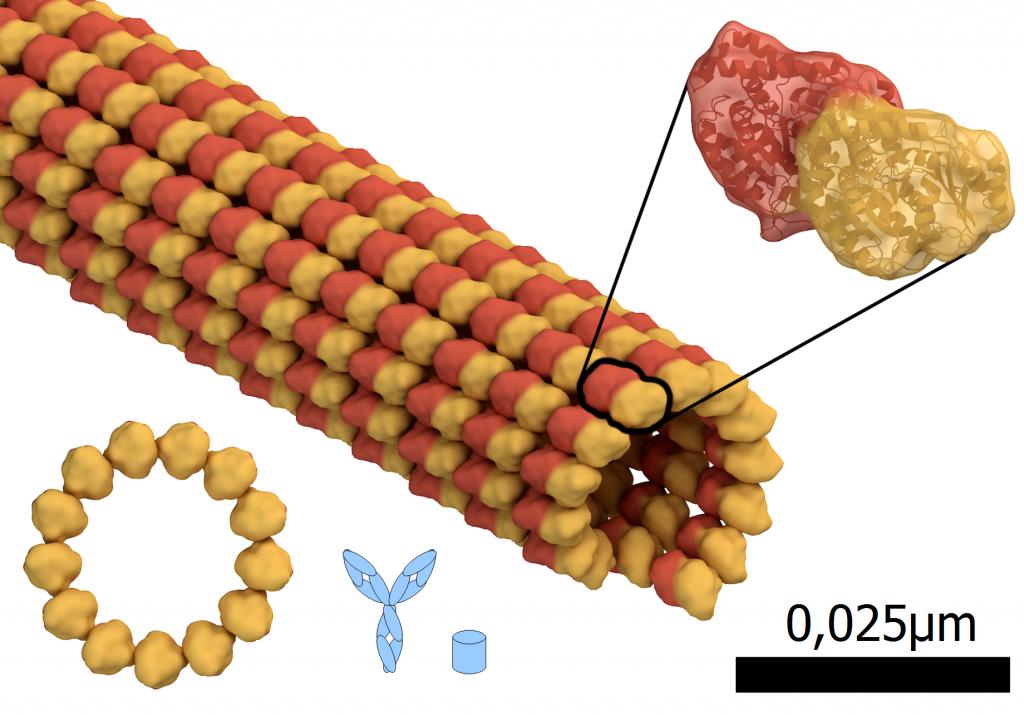 "Größenvergleich: Microtubul, Teil des Zellskeletts, rot: alpha-tubulin Eiweiß, gelb: beta-tubulin Eiweiß, blau: Antikörper und GFP. Durchmesser des Microtubuls: 0,024µm oder 24nm. Basierend auf ""Microtubule structure.png"" von Thomas Splettstoesser (www.scistyle.com); CC-BY-SA 4.0 André Lampe"