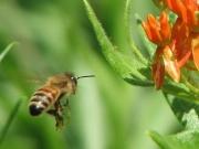 Honigbiene.jpg