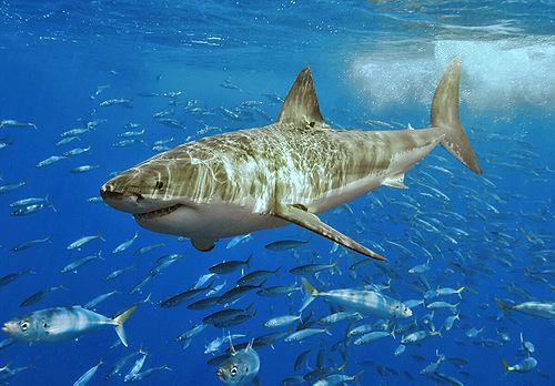 i-723310aec0e62200a420f48168dff9b1-500px-White_shark.jpg