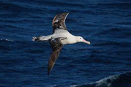i-b47ad4f8814cf27c4f1bac3ab1518a96-256px-Diomedea_exulans_-Southern_Ocean,_Drakes_Passage_-flying-8.jpg