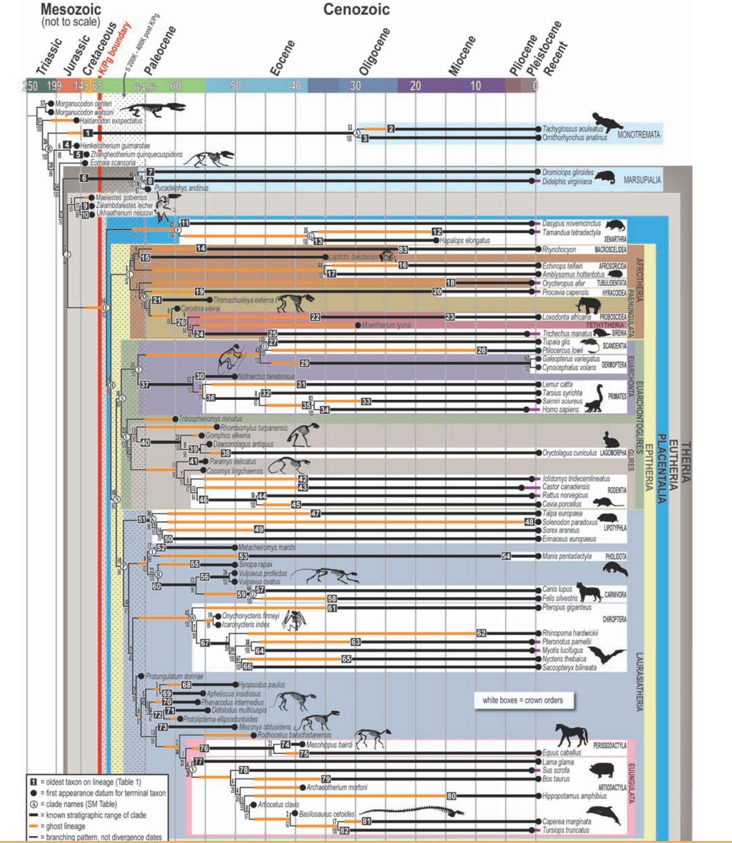 mammalCladogramFull