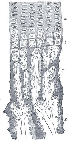 chondrocyt