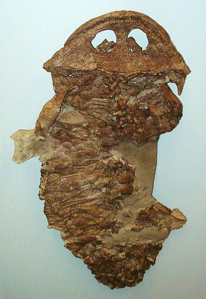 Gerrothorax_pustuloglomeratus
