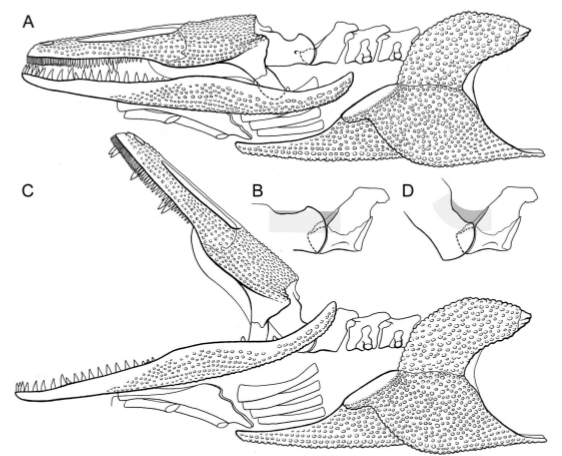 gerrothorax1