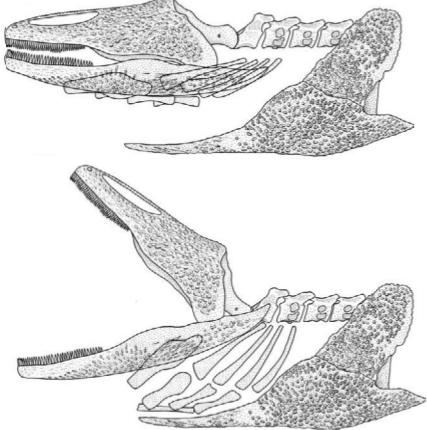 gerrothorax2