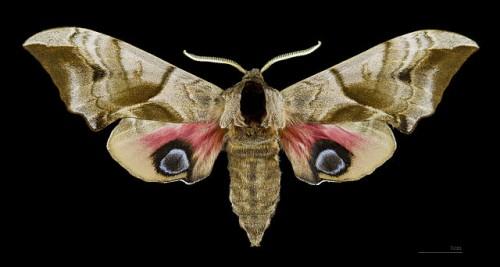 640px-Smerinthus_ocellatus_MHNT_Female_dos