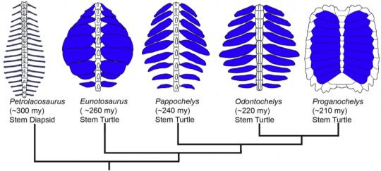 eunotosaurus1