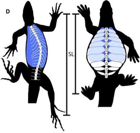 eunotosaurus2