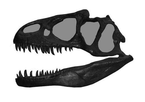 i-3848aa2b107d139cfac3ef76dcedd61b-800px-Allosaurus_skull_8487-thumb-500x353.jpg