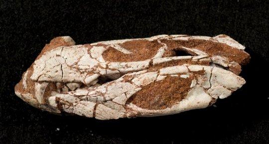 i-4c7764e27d6f1cc74263ccc1265151f8-Pakasuchus_skull-thumb-540x291.jpg