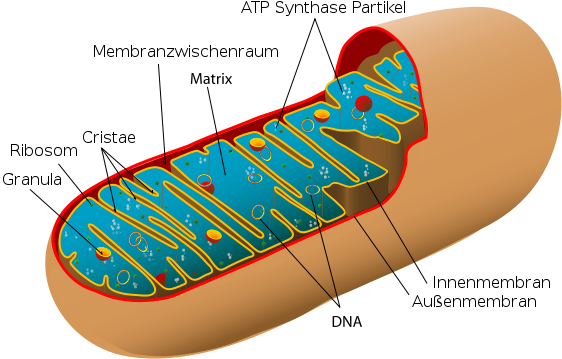 i-50f1e027ee69c38633490fcca5257011-mitochondrium-thumb-562x359.jpg