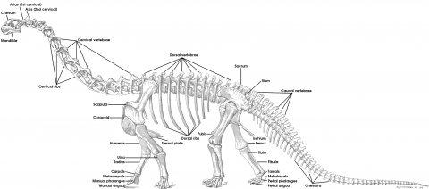 i-6441cefae58a0c07cebee32edeeee9b4-osbornmook1921-plate-84-camarasaurus-reconstruction-annotated.jpeg