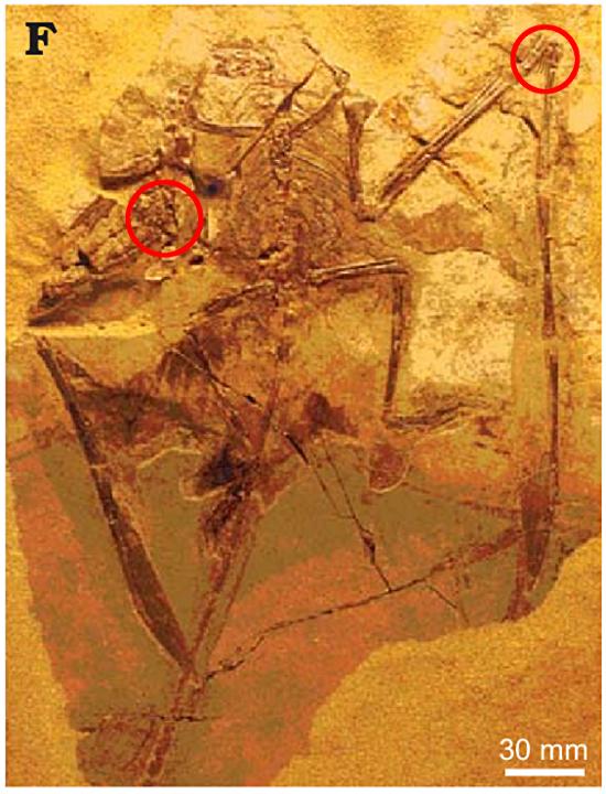 i-ce7a1d777d99b612c6a26ff8bb7bc136-homosaurus1.jpg