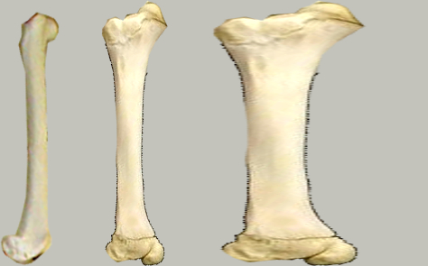 i-efe75e8d022655acbc3816f5d13d2881-compare_bones.jpg