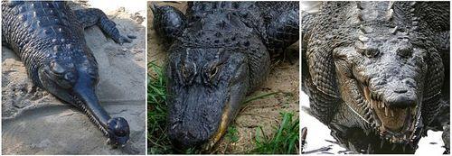 i-fdb4f7bfca9bac775fdb495c5f9bdd92-800px-Comparison_-_Crocodilia-thumb-500x173.jpg